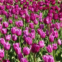 Прекрасные незнакомцы: новые сорта тюльпанов на выставке
