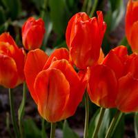 Новые сорта тюльпанов, в которые невозможно не влюбиться