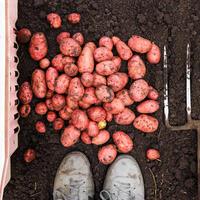 Что нужно знать тому, кто собрался копать картошку. 9 напутственных советов