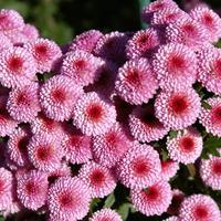 Достойны восхищения: лучшие новые сорта мелкоцветковых хризантем