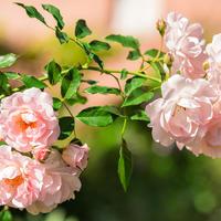 Суперзимостойкие, надежные и неприхотливые розы? Да, такие есть!