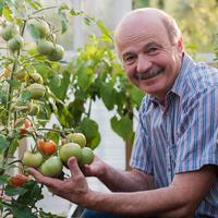 Как выбрать томаты, чтобы в конце сезона не было мучительно больно за потраченное время