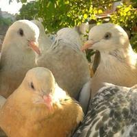 Адэм и голуби...