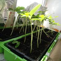 Нужно ли заглублять рассаду при пересадке в грунт?