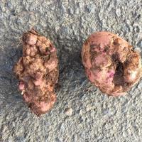 Почему клубни картофеля деформировались?