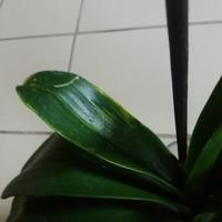 Помогите определить заболевание орхидеи