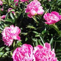 Встречаем весну цветами