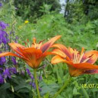 Какими могут быть необычными... обычные азиатские лилии