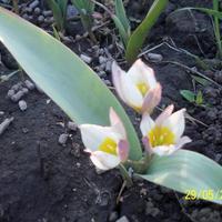 Почему весной не взошли  ботанические тюльпаны и взойдут ли они в следующем году?