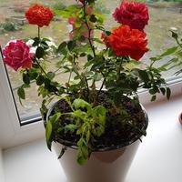 Почему стебли, листья и бутоны розы вянут, а потом стремительно засыхают? Как ее выходить и в будущем предупредить такие проблемы?