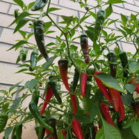 Острый перец «Феникс» – поразил обильным плодоношением
