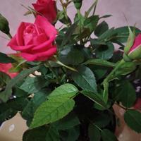 Как ухаживать за розой?