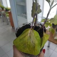 Почему вянут и опадают листья у рассады баклажанов?