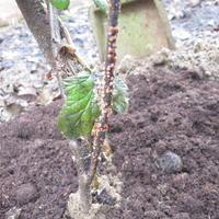 Возможен ли осенний полив смородины кипятком?