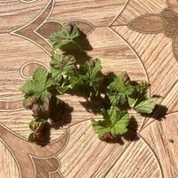Бордовые выпуклые пятна на листьях смородины. Что это за болезнь и как ее лечить?