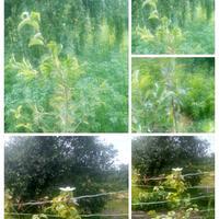 Коричневеют и сохнут листья яблонь и клематиса. Помогите спасти
