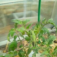 Нужно ли удалять первые «махровые цветки» на томатах?