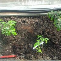 Наконец-то ПМЖ.  Высадка томатов в теплицы
