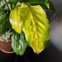 У спатифиллума регулярно желтеют листья. В чем причина?