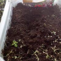 Не получается вырастить рассаду петунии