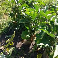 Необычный способ выращивания баклажанов