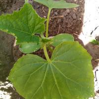 Секретик на пять копеек: альтернативный способ выращивания рассады