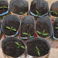 Томат Пузата Хата. III этап. Развитие растений и уход за ними. Пикировка рассады