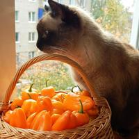 Перец сладкий 'Апельсин' — всей семьею он любим!