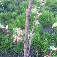 Можно ли как-то узнать, будут ли плоды у яблони?