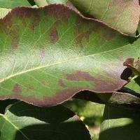Бордоская жидкость - можно ли опрыскивать, когда зеленые листья?