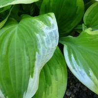 Листья хосты становятся белыми и полупрозрачными. В чем причина и как лечить?