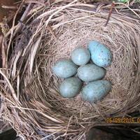История о появлении и развитии птенцов дрозда рябинника. Часть 2 (продолжение)