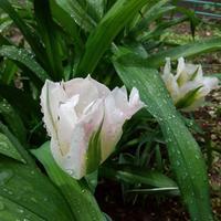 Можно ли спасти луковицы тюльпанов?