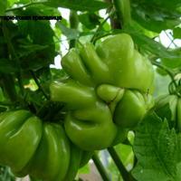 Сфотографировала специально сорта некоторых томатов