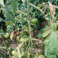 Помогите определить болезнь томатов