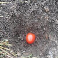 """Мой эксперимент: """"озимый помидор"""" для ранней рассады"""