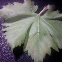 Чем поражены листья винограда?