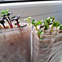Семена расторопши — лечебные свойства и мое применение