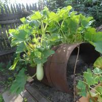 Старая дырявая бочка повышает урожай, или Бочка с серёжками :-)