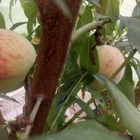 Персики - вегетативные клоны Железова на Сахалине