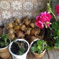 Лучше картошечки - только молодая картошечка! Готовим рассаду!