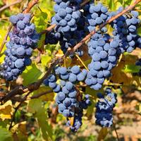 Выбираем хорошие саженцы винограда, или Как вести себя на рынке, чтобы вас не обдурили