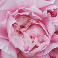 Самые знаменитые сорта роз, пионов и сирени — за что мы их любим?