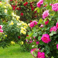 Уход за розами по полной программе: как сажать, зачем обрезать и когда укрывать