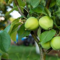 Подробная инструкция по закладке плодового сада. Как посадить деревья без ошибок