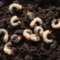 Хрущи, или майские жуки