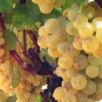 Когда и чем подкармливать виноград? Вот что советует Николай Курдюмов