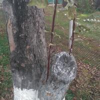 Как восстановить красивую и здоровую крону яблони?