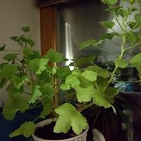 Почему сохнут листочки у пеларгонии?