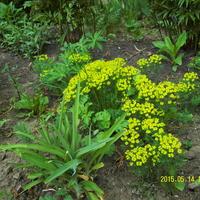 Подскажите, пожалуйста, как называются эти жёлтенькие цветочки?